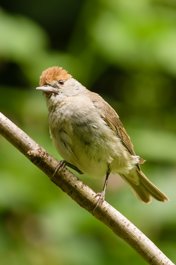 Zwartkop,  Sylvia atricapilla  (Female)
