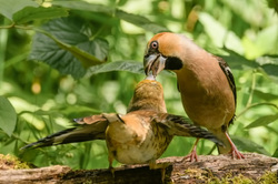 Lunch time,  Coccothraustes coccothraustes