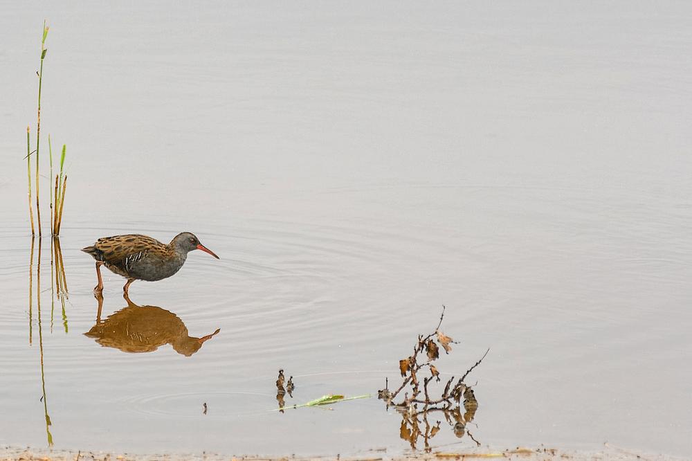 Waterral,   Rallus aquaticus