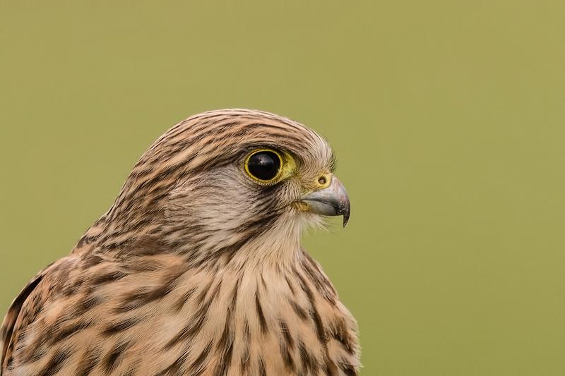 Portrait of a Kestrel, Falco tinnunculus