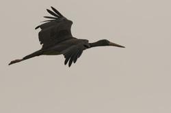 Zwarte ooievaar,  Ciconia nigra