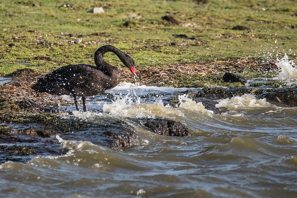 Zwarte zwaan,  Cygnus atratus