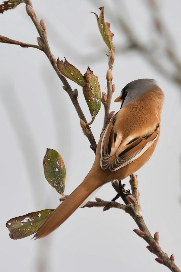 Baardmannetje,  Panurus biarmicus