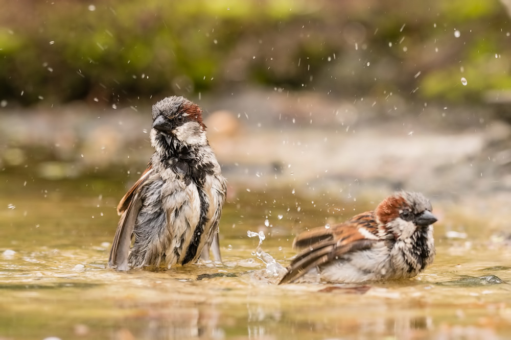 Together in the bath... Huismus, Passer domesticus