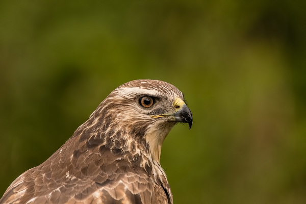 Portrait of a Buzzard,  Buteo buteo
