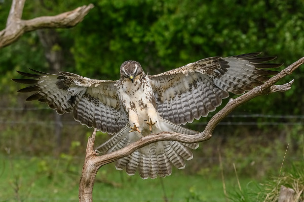Almost landed......Buizerd,  Buteo buteo
