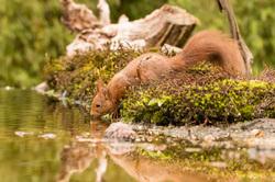 Eekhoorn,  Sciurus vulgaris