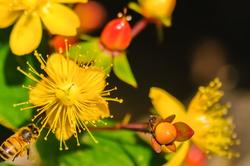 Honingbij,  Apis mellifera