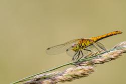 Steenrode heidelibel,  Sympetrum vulgatum