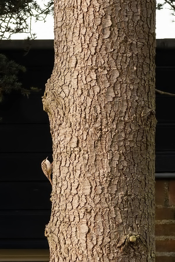 Boomkruiper,  Certhia brachydactyla