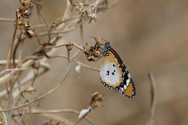 African queen,  Danaus chrysippus