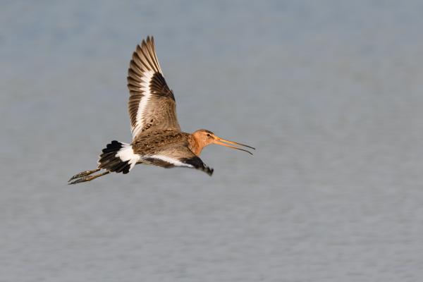 Grutto, Black-tailed godwit,  Limosa limosa