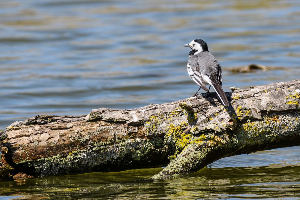 Witte kwikstaart, White wagtail