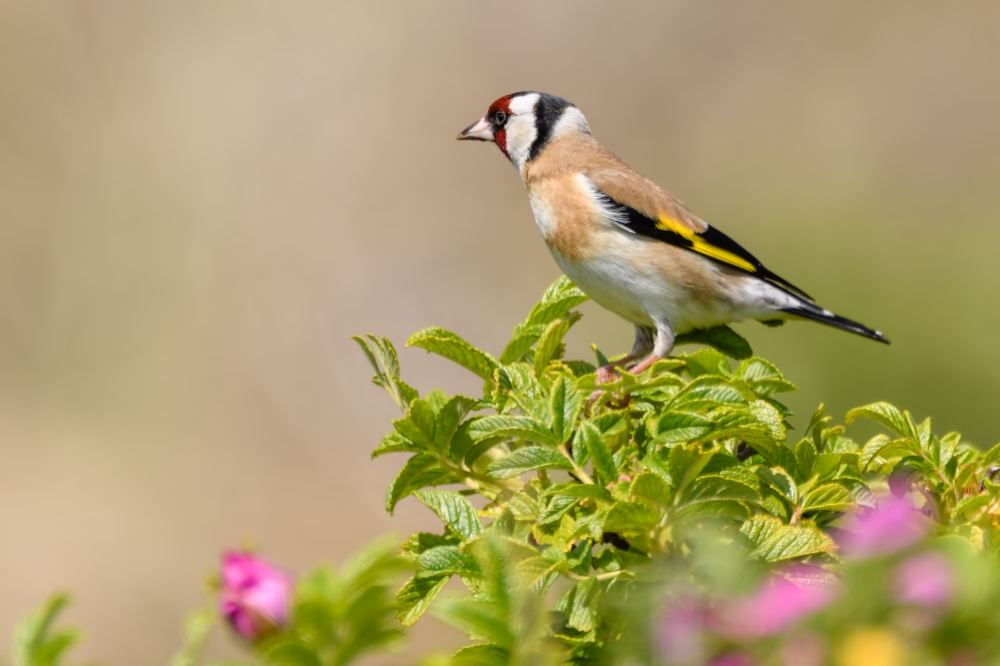 Putter,  European goldfinch , Carduelis carduelis
