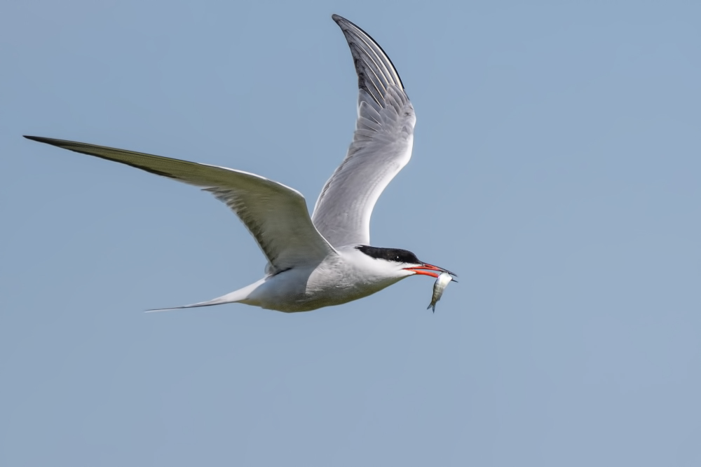 Visdief,  Common tern,  Sterna hirundo