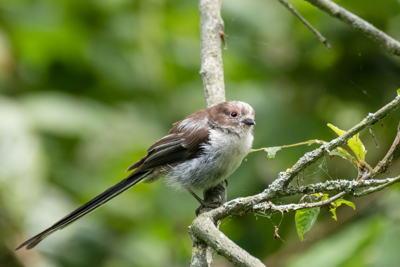Staartmees, Long tailed tit, Aegithalos caudatus
