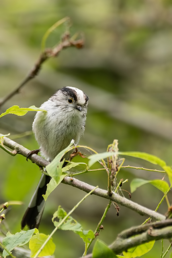 Staartmees, Long-tailed tit, Aegithalos caudatus