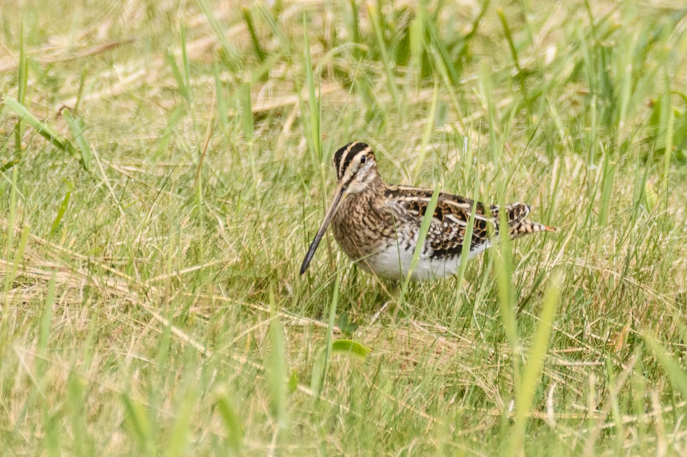 Watersnip, Common snipe, Gallinago gallinago