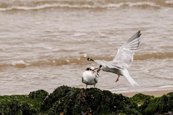 Visdief,  Common tern,  Sterna hirundo