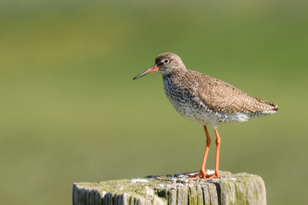 Tureluur, Common redshank, Tringa totanus