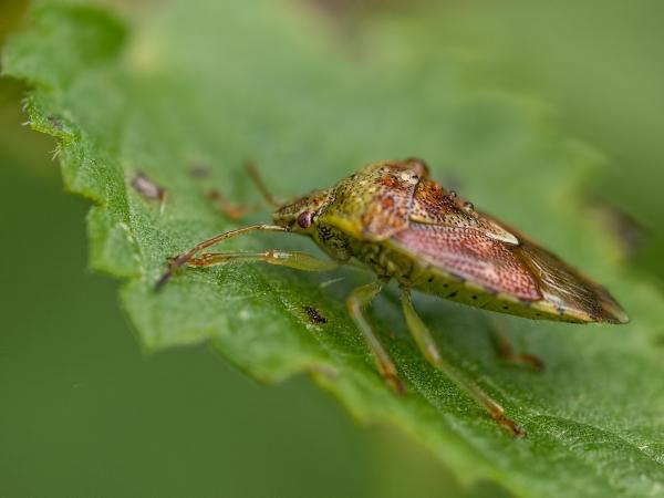 Schildwants,  Pentatomidae