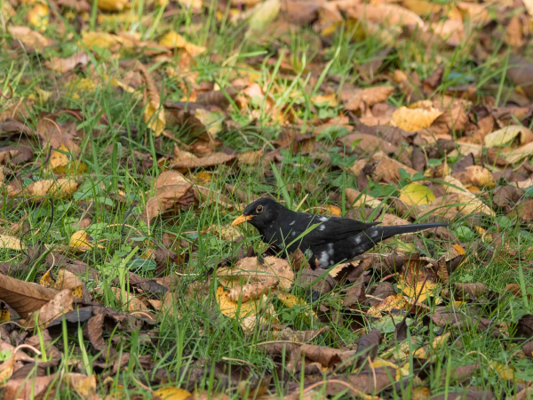 Common blackbird among autumn leaves