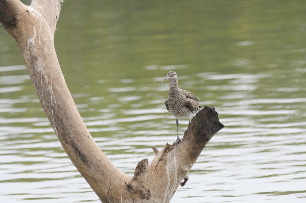 Regenwulp,  Numenius phaeopus
