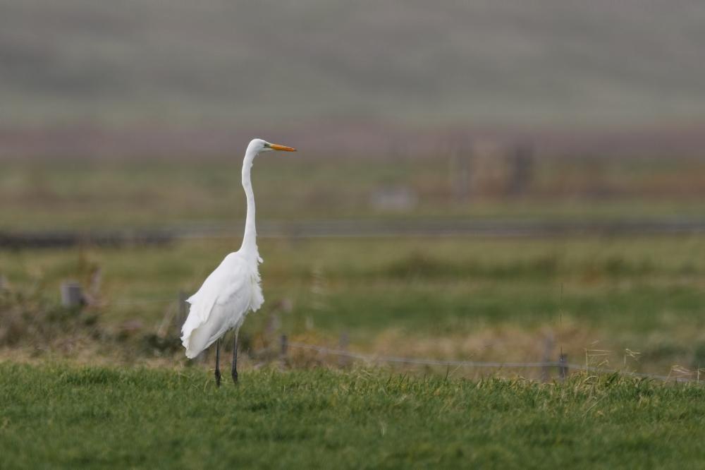 Grote zilverreiger,  Great egret,  Ardea alba