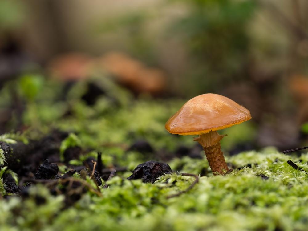 Voorjaarspaddestoel, Spring mushroom
