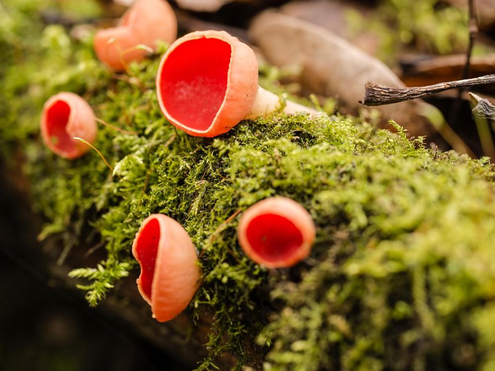Rode kelkzwammen,  Sarcoscypha coccinea