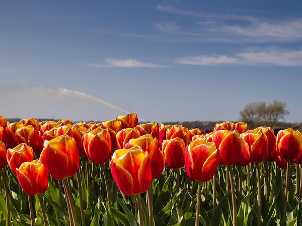 Tulpen, Tulipa