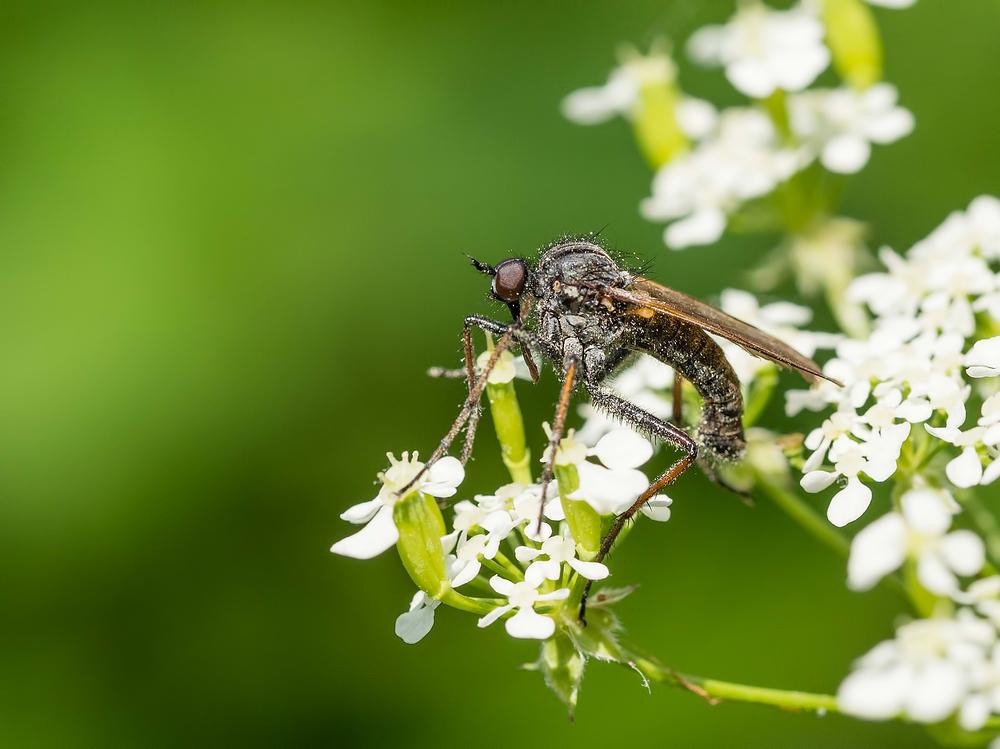 Roofvlieg,  Asilidae