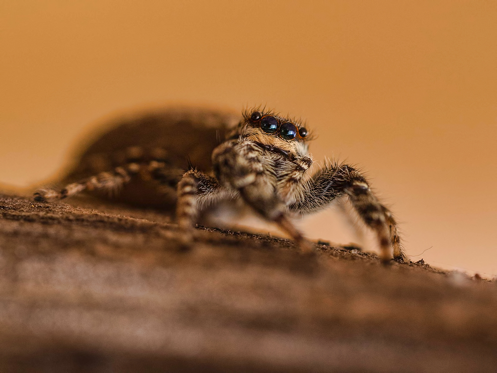 Springspin, Salticidae