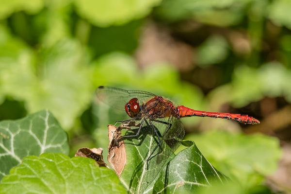 Bloedrode heidelibel, Sympetrum sanguineum