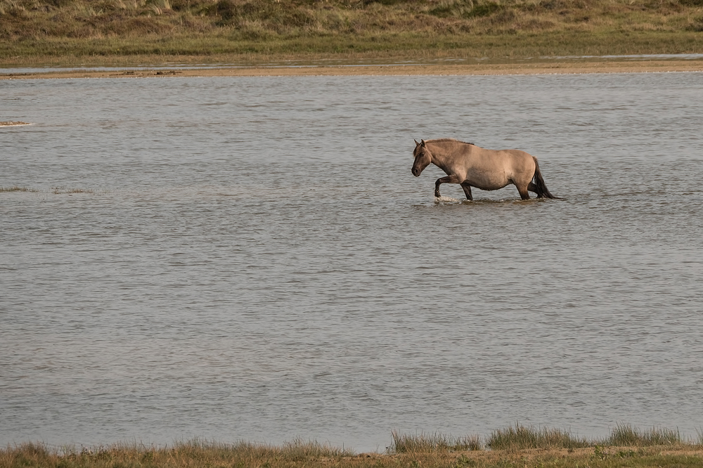 Konik,  Equus ferus caballus