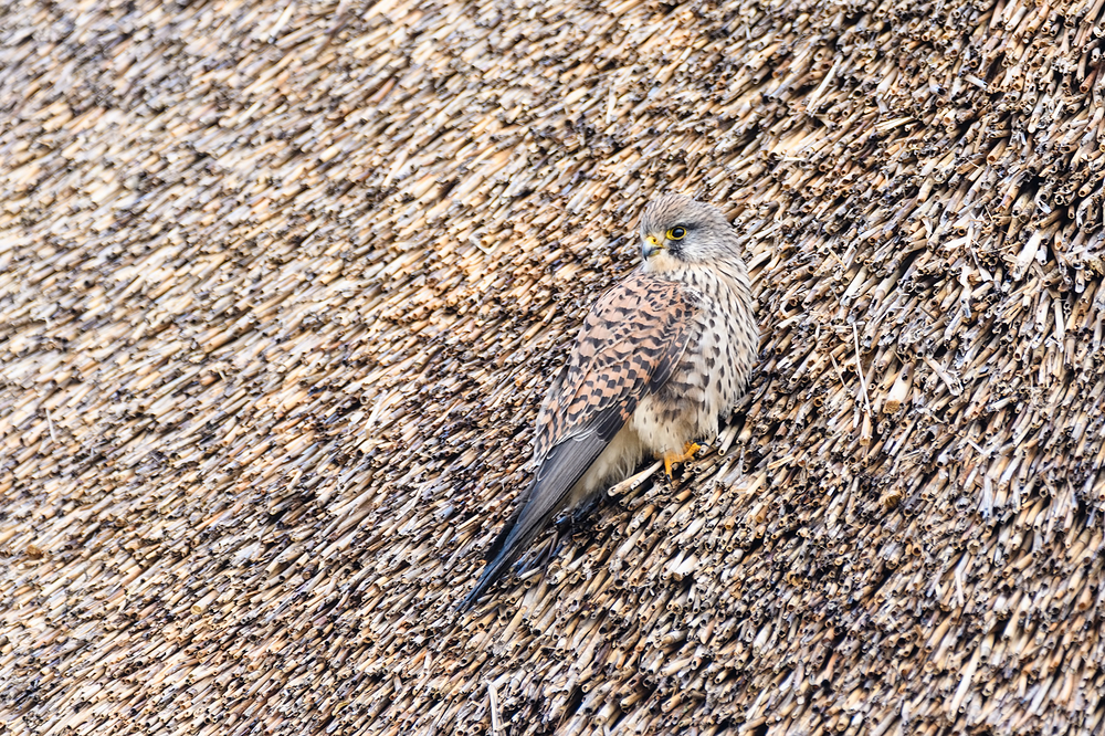 Kestrel on a thatched roof