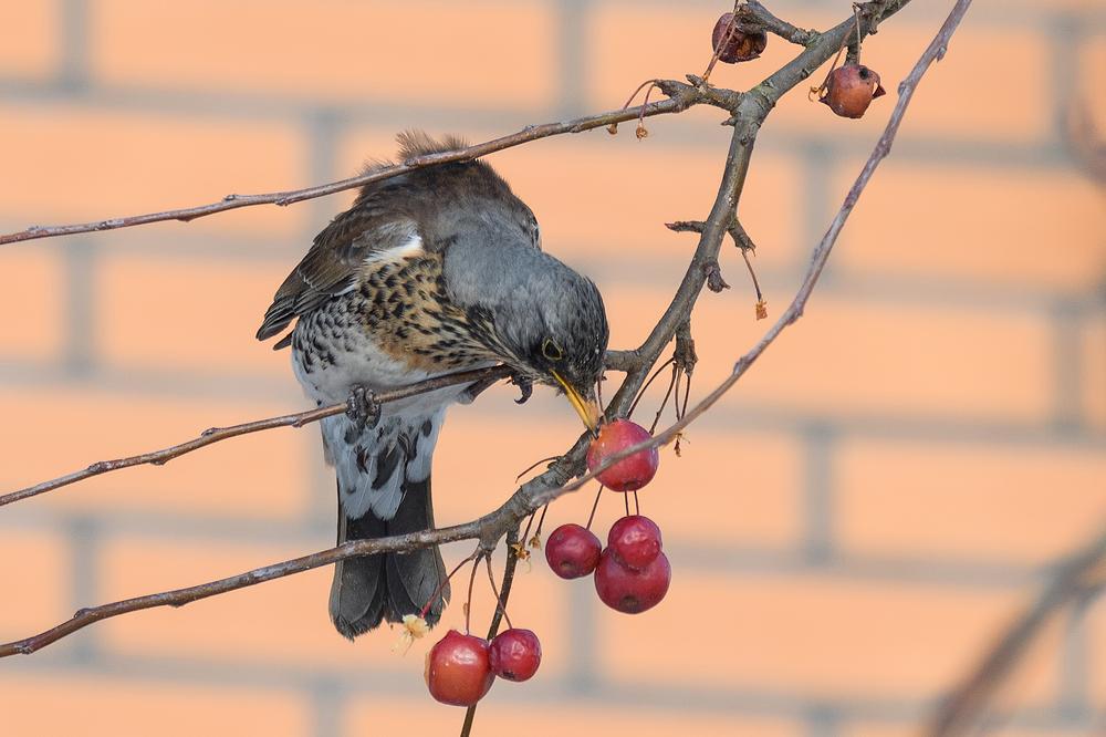 Kramsvogel, Turdus pilaris
