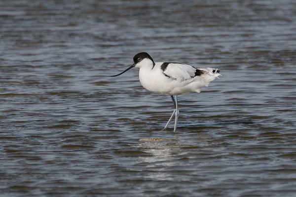 Kluut,   Recurvirostra avosetta