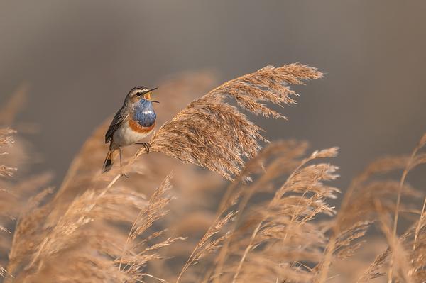 Blauwborst, Luscinia svecica