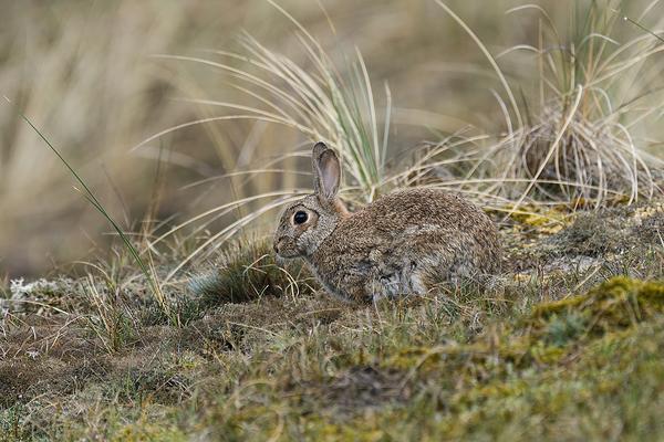 Europees konijn, cuniculus