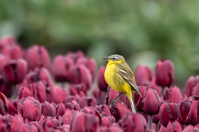 Gele kwikstaart,   Motacilla flava