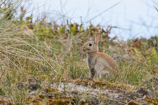 Europees konijn, Oryctolagus cuniculus