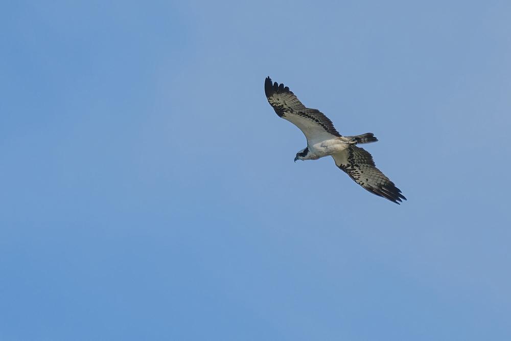 Visarend,  Falco haliaetus