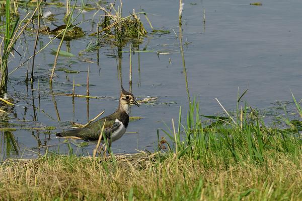 Kievit,  Vanellus vanellus