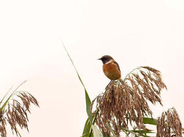 Roodborsttapuit,  Saxicola rubicola