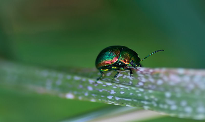 the metallic green Beetle