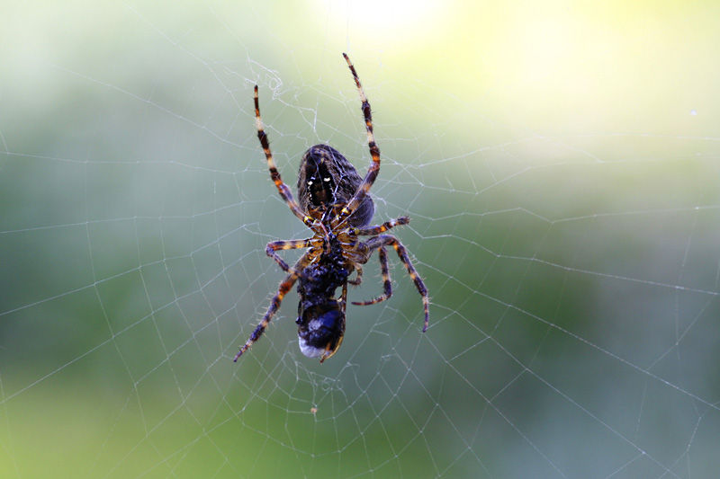 The spider and its prey