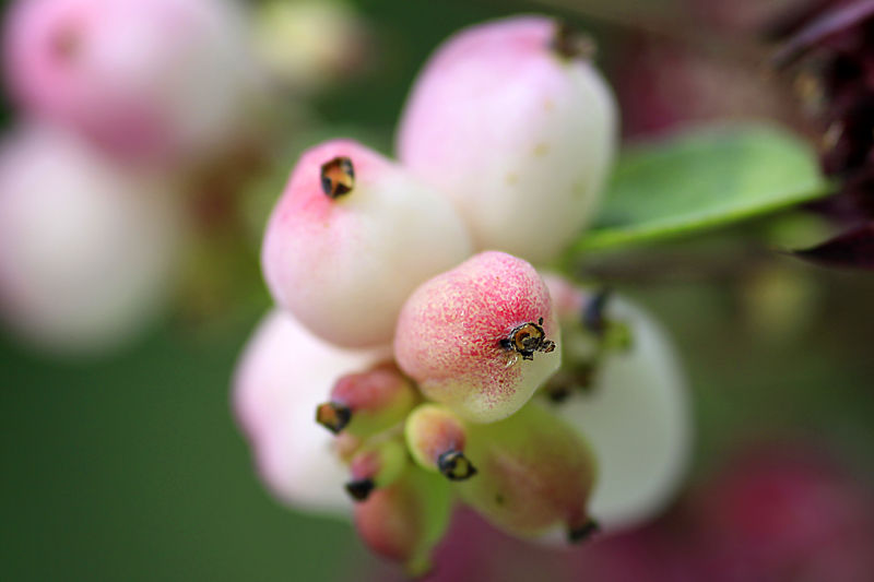 the shy and blushing berry