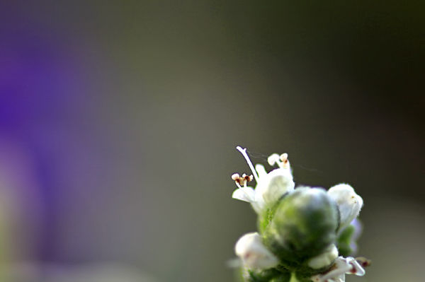 The flower of thyme