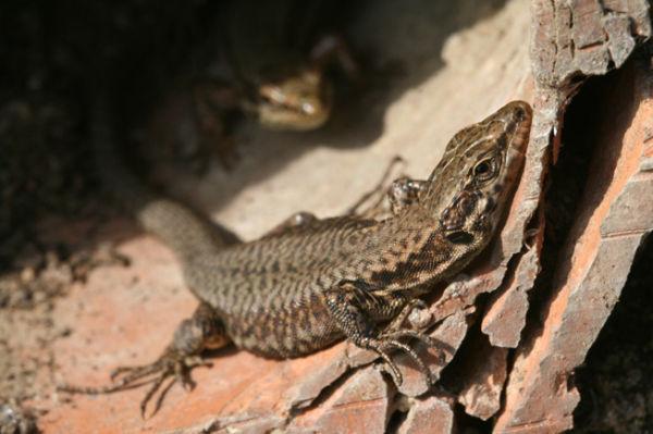 Lizard in the sun